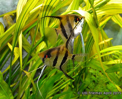 Pterophyllum scalare  Bild 1a