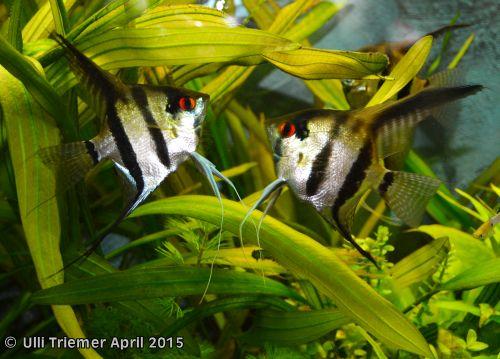 Pterophyllum scalare Bild 5a