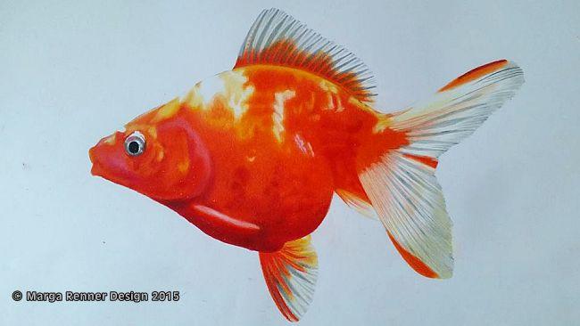 Goldfisch Bild 4