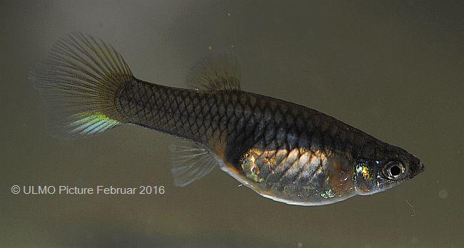 Japan Blue Weibchen 1